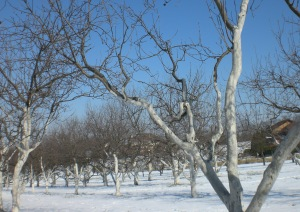 Beauty of painted trees in the winter orchard.