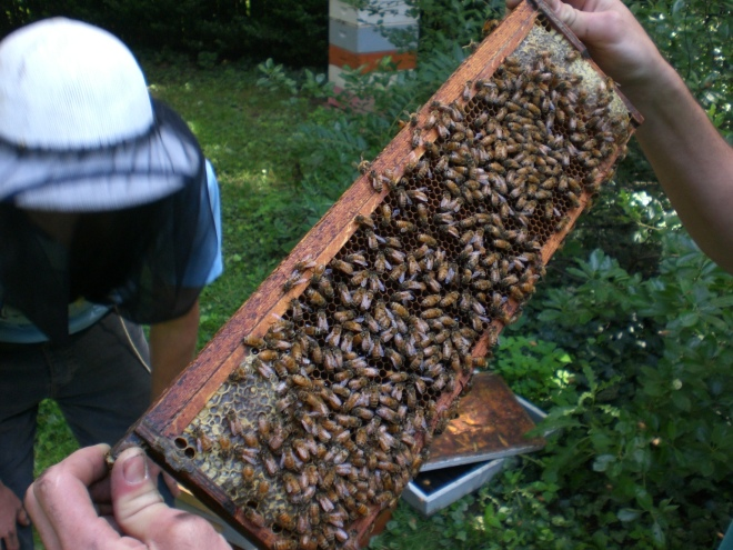 Examining a healthy bee frame.