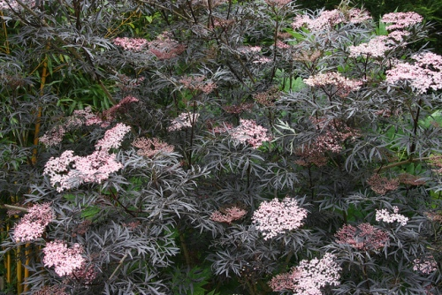 EDIBLE ORNAMENTALS: SHRUBS
